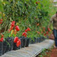 HOLTIKULTURA ASING - Pekerja memeriksa tanaman holtikutura tomat murasaki (asal jepang) di perkebunan yang terletak di Jalan Kopeng, Desa Tanjungwangi, Keamatan Cicalengka, Kabupaten Bandung, Kamis (4/8). Perkebunan yang memperkerjakan 35 petani asal daerah sekitar ini menghasilkan beberapa tanaman holtikultura asing, sehingga tidak menjadi pesaing bagi petani lokal lain di kawasan tersebut. PHOTO'S SPEAK/JAMAL RAMADHAN